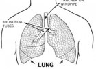 Fun Lung Facts for Kids - Interesting Facts about Lungs | Recurso educativo 724548