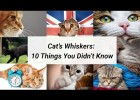 Cat Whiskers - 10 Things You Didn't Know About Cat Whiskers | Recurso educativo 765635
