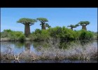 The Baobab Trees  of Madagascar | Recurso educativo 769090