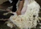 Shearing a sheep | Recurso educativo 778677
